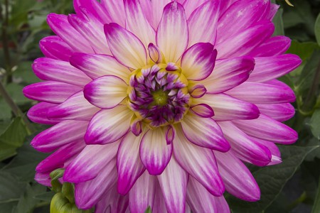 Aylett Nurseries Dahlia Field | Striking Places Photography