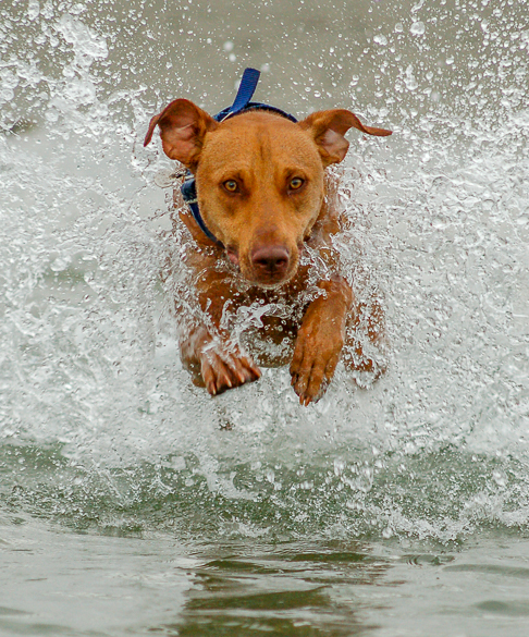 Vizsla with blue colour leaping at you from a wave