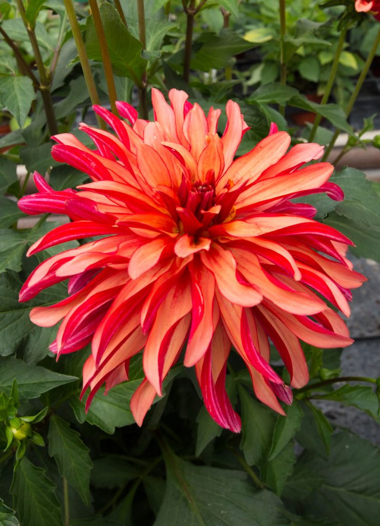 Aylett Nurseries Dahlia Field | Striking Places